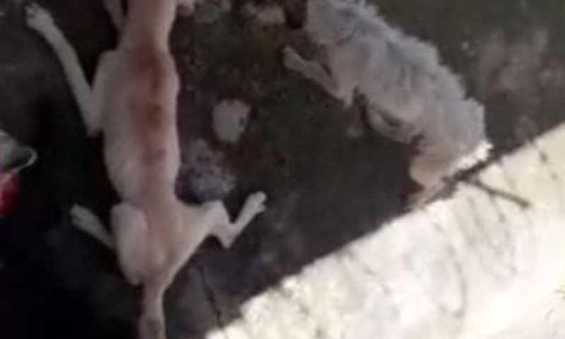 Moradores flagraram cães em situação precária em Sorocaba (SP) no bairro Vila Fiori — Foto: Arquivo Pessoal