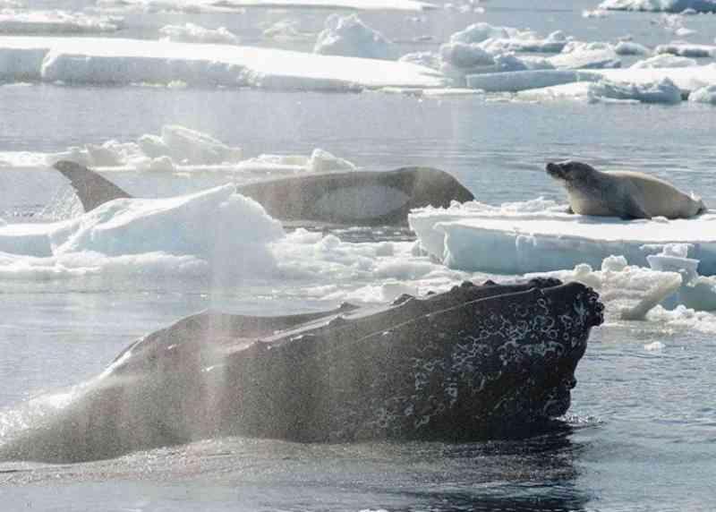 Baleia-jubarte atacou orcas para evitar que foca virasse refeição