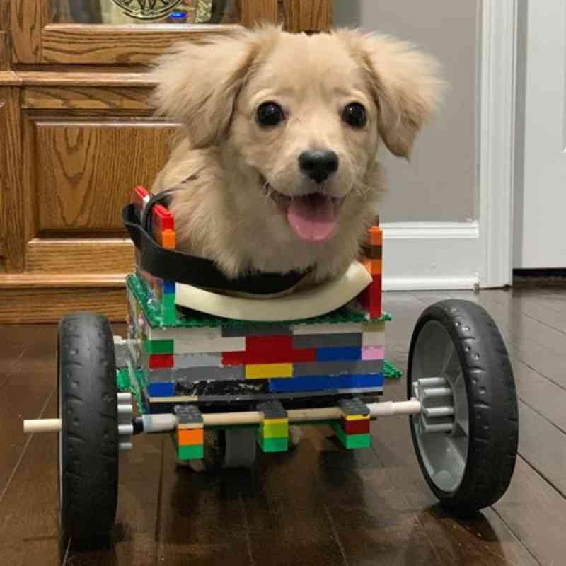 Cadela sem patas dianteiras ganha 'cadeira de rodas' feita de Lego por garotinho