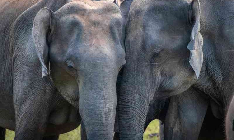 Como elefantes lidam com os mortos? Estudo investiga pela primeira vez