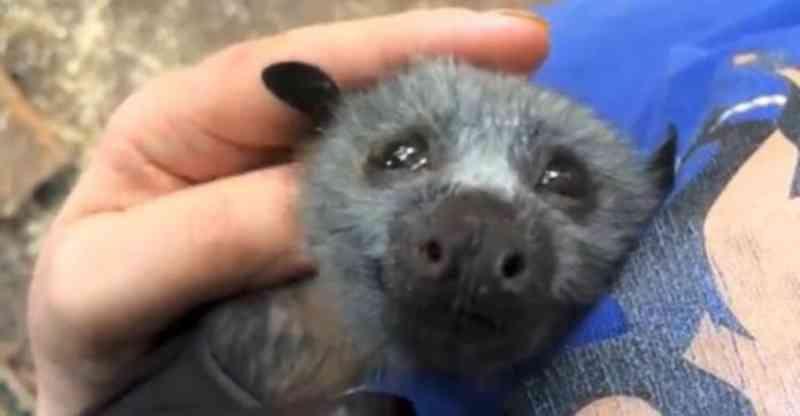 Filhote de morcego ferida se derrete toda com carinho de cuidadora