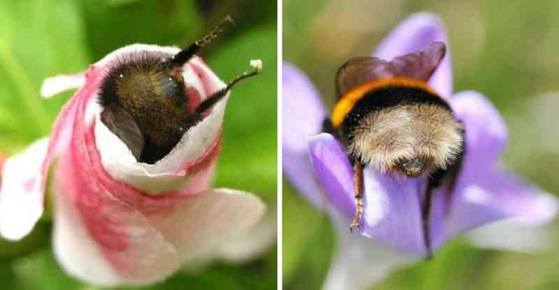 Fotos de abelhas cansadas dormindo de 'bumbum pra cima' dentro de flores viralizam
