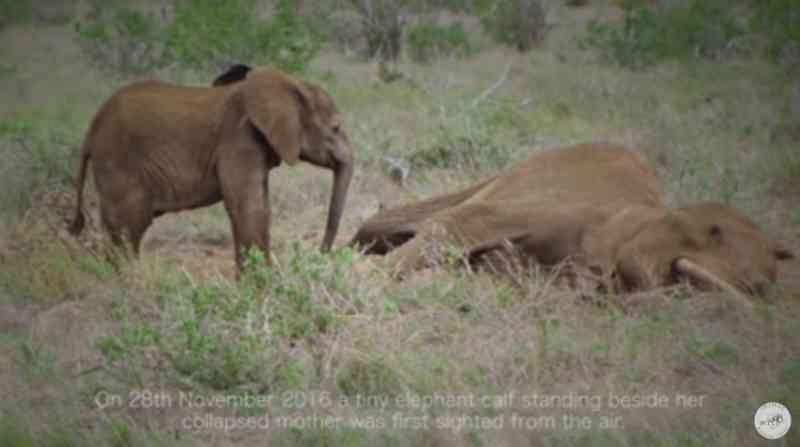 O resgate do bebê elefante que ficou ao lado da sua mãe agonizante te deixará com lágrimas nos olhos