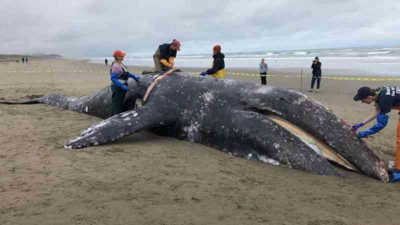 Tempestades solares podem ser causa de encalhes de baleias cinzentas