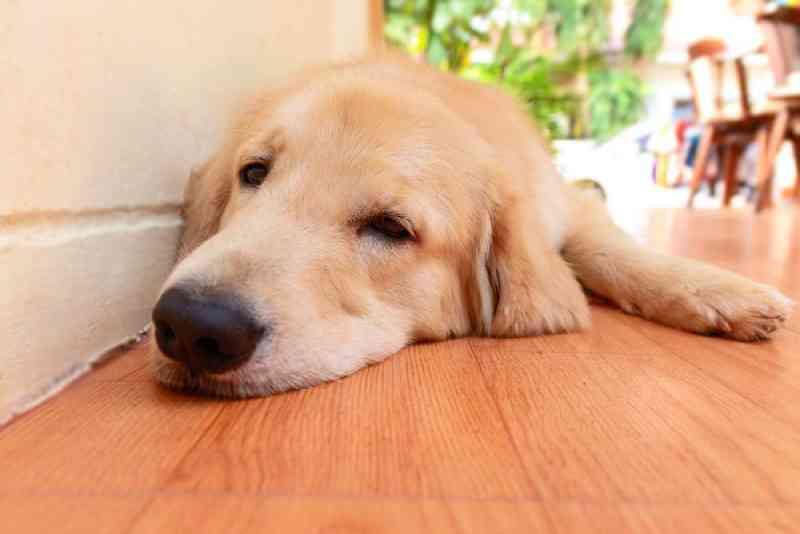 Verão aumenta risco de contaminação em cães pelo 'verme do coração'
