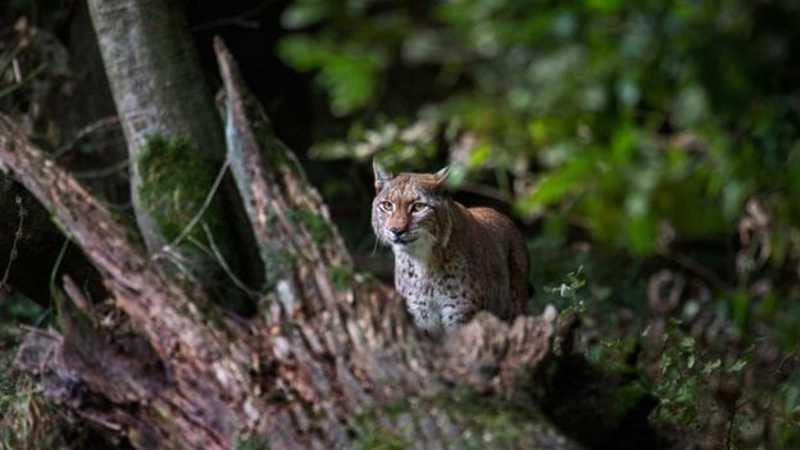 O lince-dos-balcãs, ameaçado de extinção, é uma subespécie de lince-da-eurásia que percorre áreas de caça na Albânia, Kosovo, Macedônia do Norte e Montenegro. GETTY IMAGES