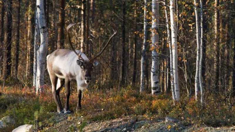 As renas silvestres, altamente ameaçadas de extinção, se beneficiaram das áreas de cinturão verde no norte da Europa. GETTY IMAGES