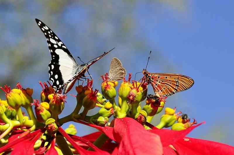 Aumento de borboletas chama atenção na região metropolitana de Maceió