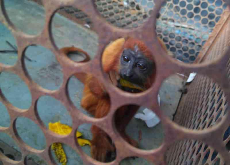 Filhote de guariba invade casa de professor no AP; animal tem marcas de criação em cativeiro