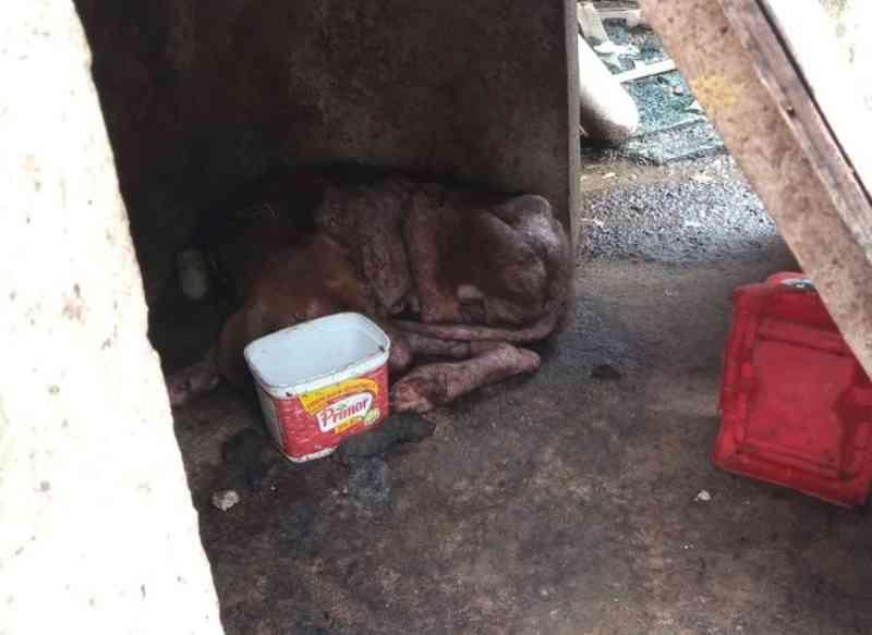 Cachorro Ben Hur quando foi encontrado, morava acorrentado em um ambiente insalubre — Foto: Divulgação/Anjos Protetores