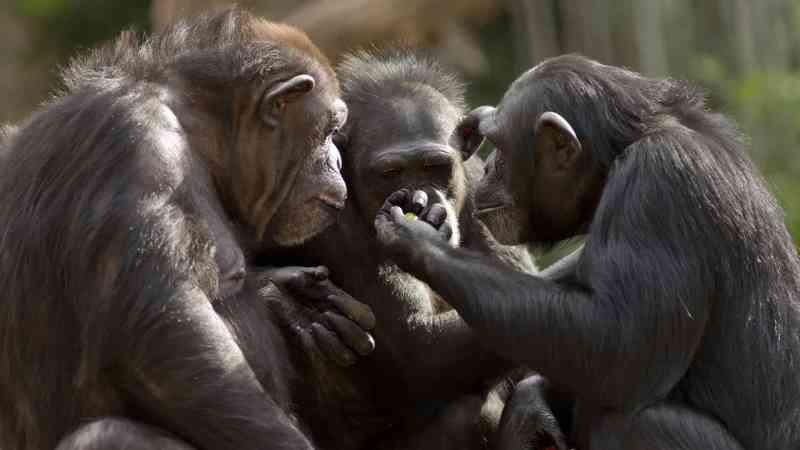 Angola transfere chimpanzé ferido por caçadores furtivos para a República do Congo