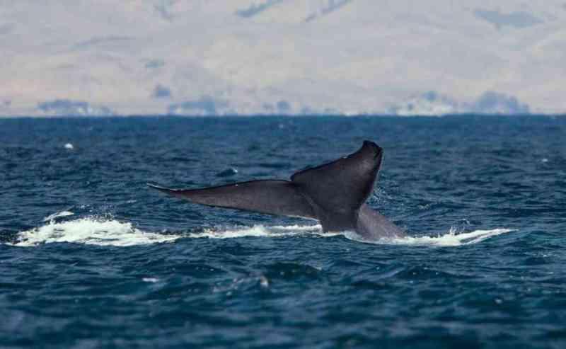 Dezenas de baleias azuis são vistas na Antártida pela 1ª vez em 40 anos