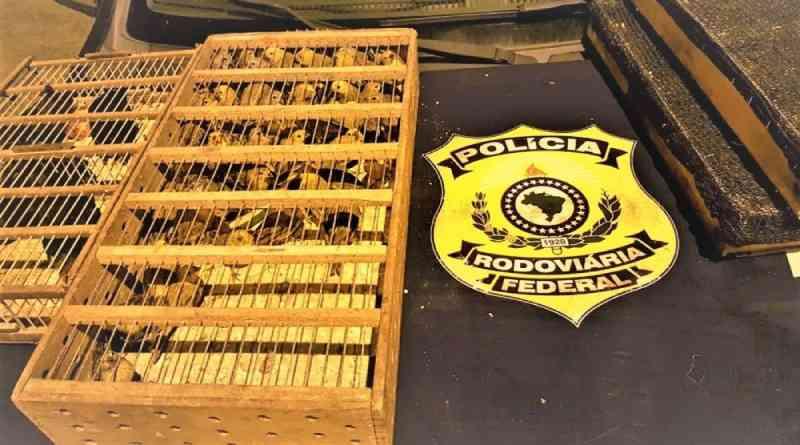 PRF resgata quase 500 pássaros silvestres transportados em mala de carro; veículo era de locadora e foi furtado há cerca de 4 anos