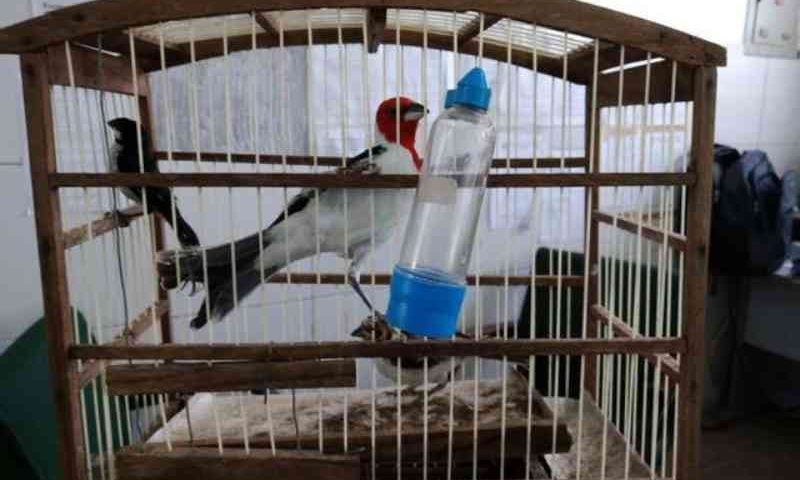Aves silvestres mantidas em cativeiro são encontradas no interior do Ceará