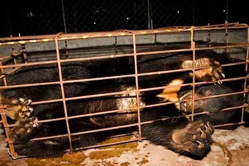 China permite uso de bile de urso para tratamento da Covid-19