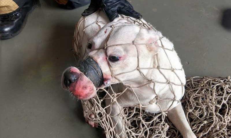 Cadela da raça pit bull é encontrada amordaçada com fita isolante no DF — Foto: CBMDF/Divulgação