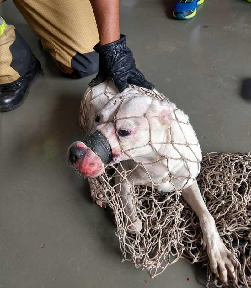 VÍDEO: Pit bull é resgatada em rua do DF com focinho e boca presos com fita isolante