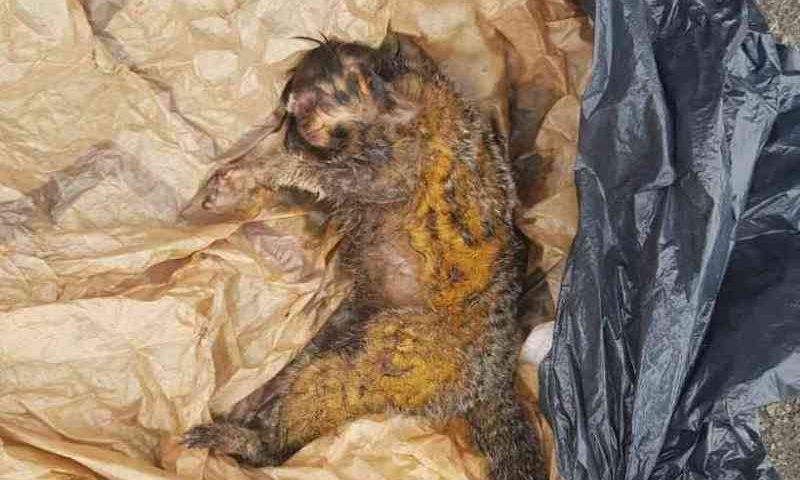 Macaco é resgatado dentro de saco plástico em lixeira no Sudoeste, DF