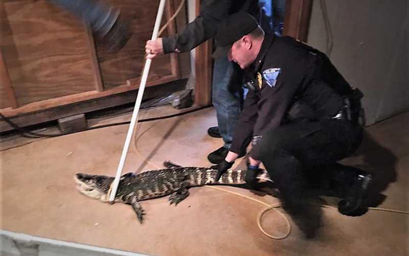 Polícia resgata crocodilo que vivia há 25 anos em porão
