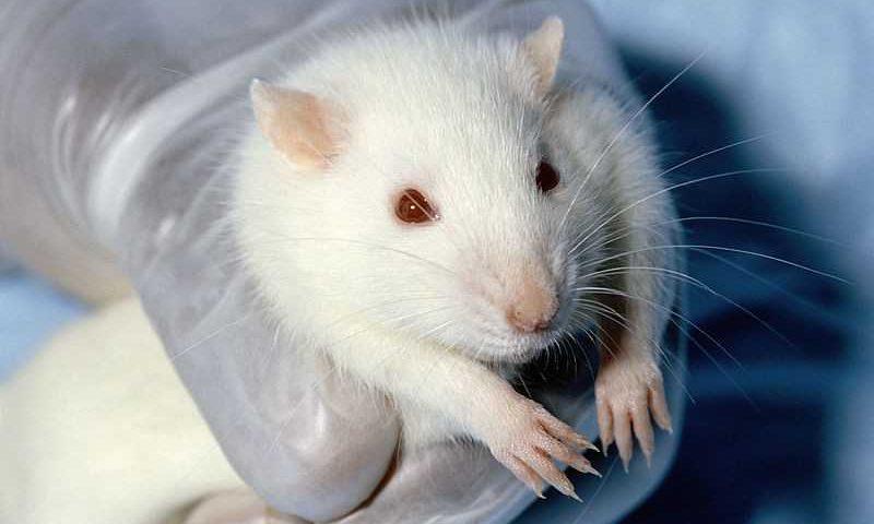 Universidades estão sacrificando milhares de roedores por causa da Covid-19 (Foto: Wikimedia commons)