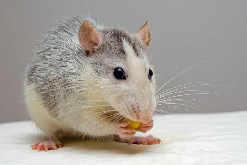 Distanciamento social pela pandemia do novo coronavírus afastou cientistas dos laboratórios, o que levou especialistas a realizarem eutanásia em centenas de roedores (Foto: Pexels)