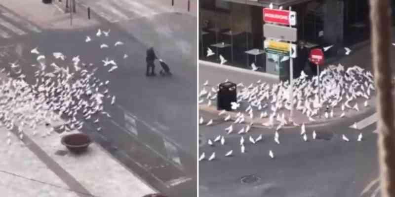 Gravam momento em que mulher é perseguida por pombos famintos devido à quarentena