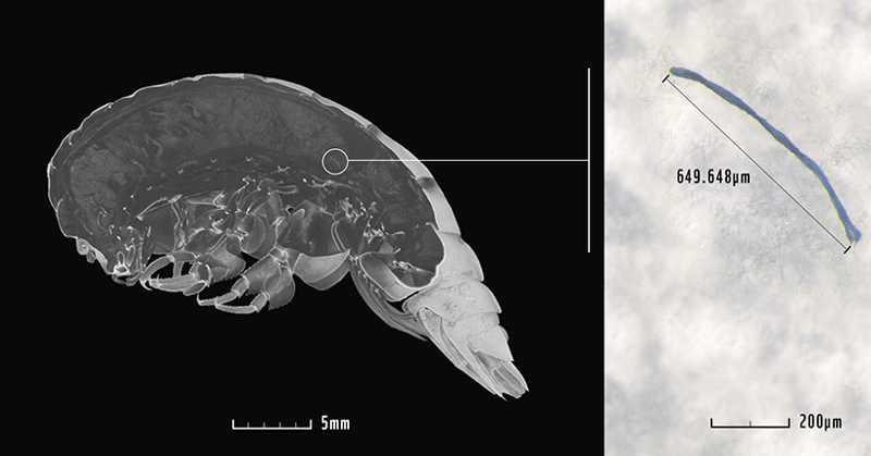 Nova espécie de anfípode foi encontrado na Fossa das Marianas, o local mais profundo do mundo. Especialistas descobriram grande quantidade de plástico no trato digestivo do animal (Foto: Weston et al., 2020, Newcastle University)