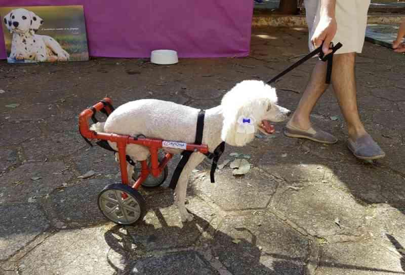 Projeto que faz cadeiras de rodas para cachorros com dificuldade de mobilidade precisa de voluntários, em Goiânia, GO