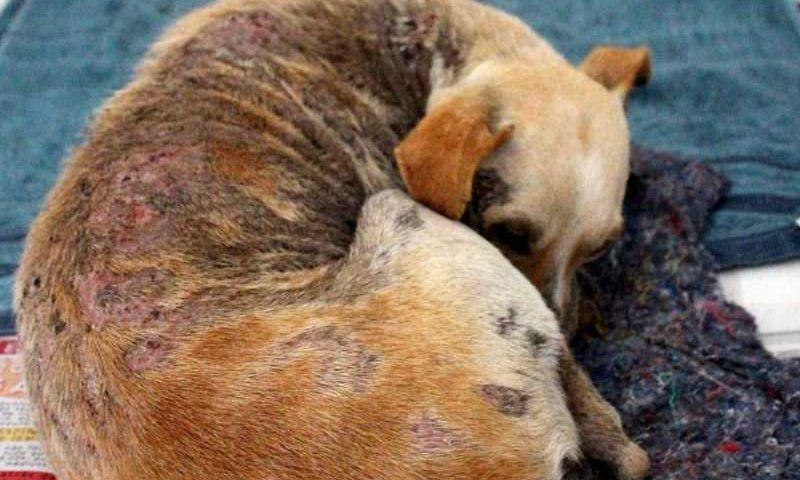 Cão vítima de maus-tratos é socorrido por grupo protetor dos animais, em Goiânia, Goiás — Foto: Vida Lata/Divulgação