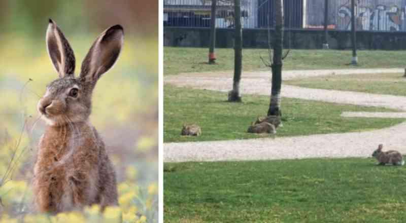Em Milão, com as pessoas fechadas em casa, os coelhos voltam para os parques e jardins da cidade