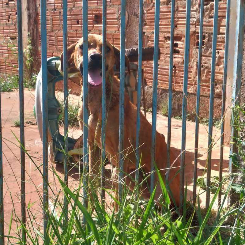 Cadela abandonada há dois meses em Campo Grande (MS) é encontrada magra e infestada de carrapatos