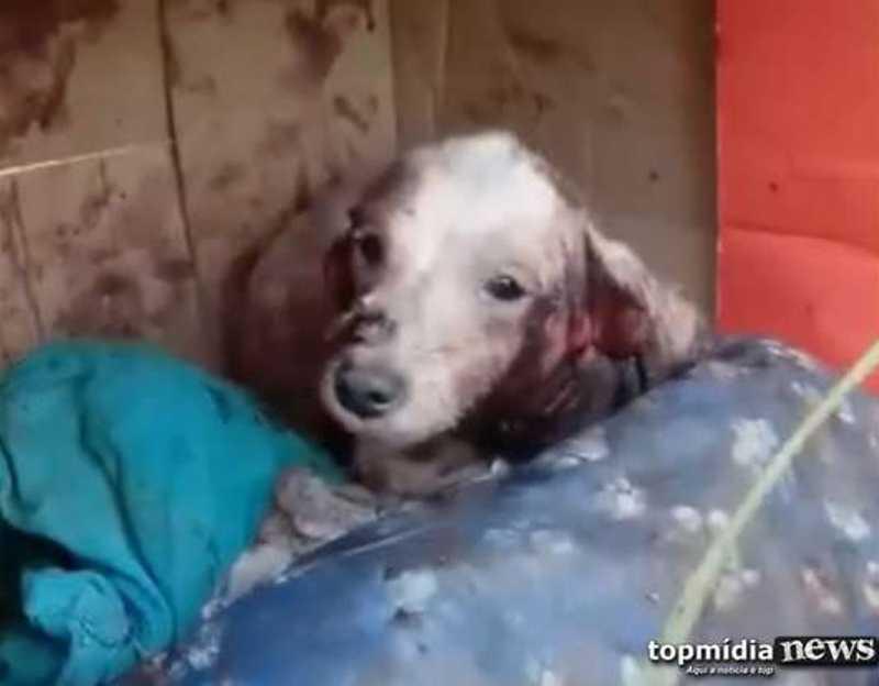 VÍDEO: cachorra é abandonada com orelha cortada e sem pelos em panos cobertos de sangue