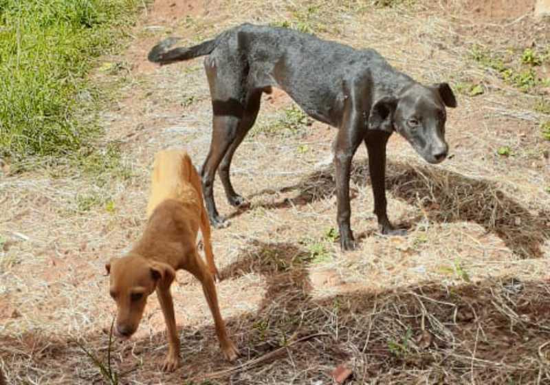 Mulher é multada e vai responder por maus-tratos por deixar cães sem comida e infestados de pulgas em MS