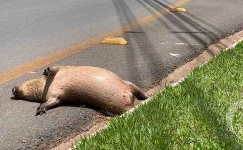 Capivara morre após ser atropelada em parque em Cuiabá