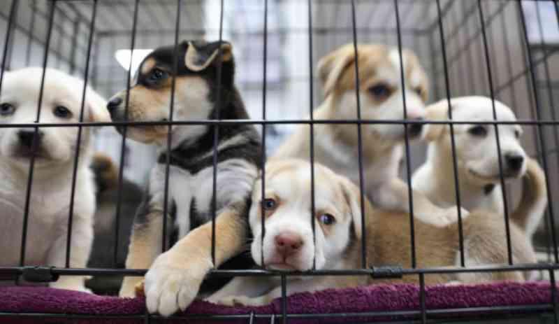 Província na Índia parou com a matança de cães para consumo de carne após a pandemia de coronavírus