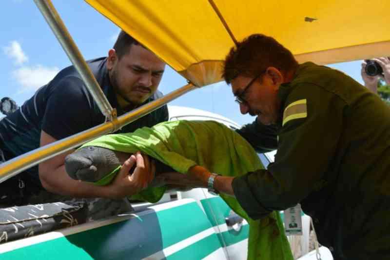 Moradores encontram filhote de peixe-boi na comunidade Pixuna do Tapará, no Pará