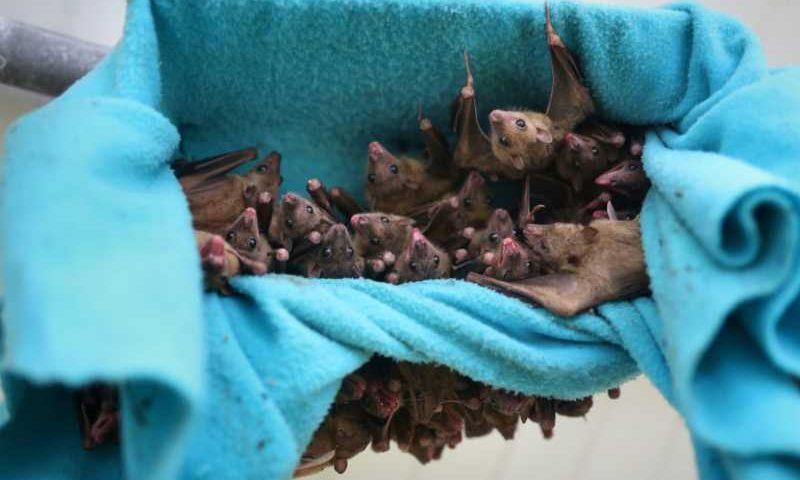 Moradores no Peru estão matando morcegos por medo do coronavírus