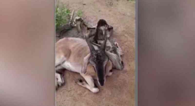 Cabras são agredidas com óleo quente e arame farpado no Sertão de Pernambuco