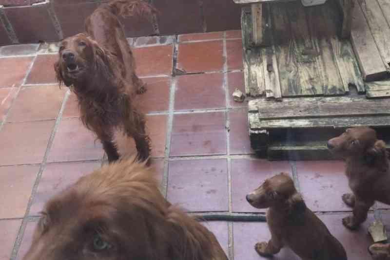 Polícia apreende 11 cães em criadouro ilegal e responsável é multado em R$ 22 mil no Portão, em Curitiba