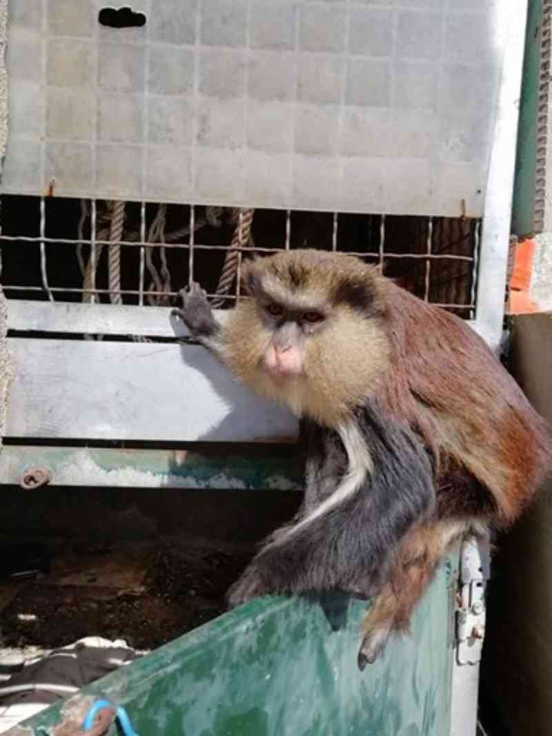 Portugal: macaco acorrentado em quintal de Cascais leva a queixa na PSP. Veja as imagens