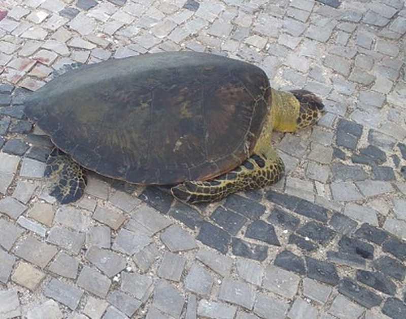 Tartaruga morre após ser resgatada com corte na cabeça no Canal do Itajuru, em Cabo Frio, RJ