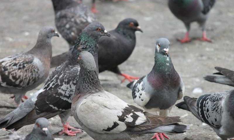Pombos tem aparecidos mortos ou doentes, pelas calçadas de Copacabana e do Centro da Cidade.