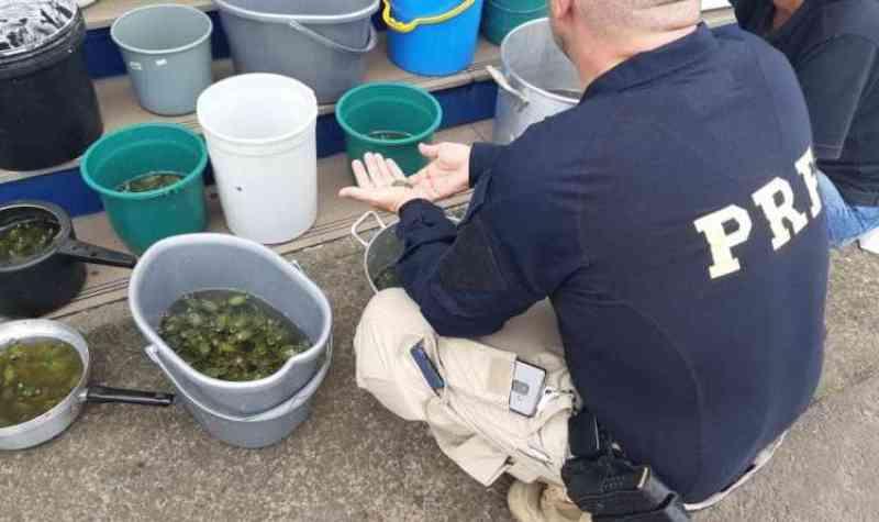 PRF prende traficante de animais com quase 2 mil tartarugas em Torres, RS