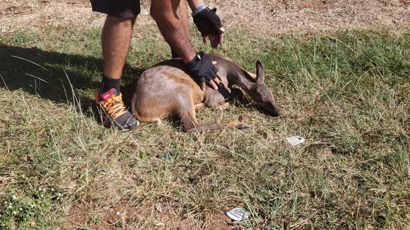 Cervo atropelado recebe atendimento em clínica veterinária em Erechim, RS