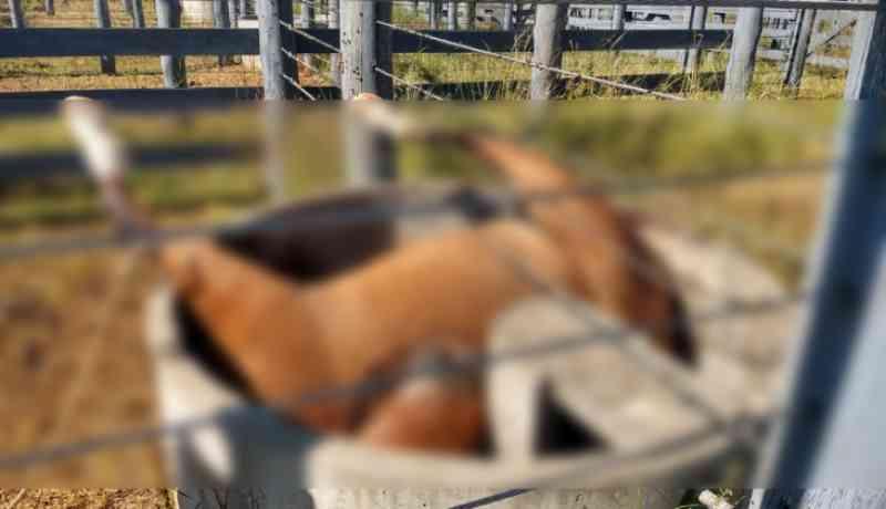 Cavalo morre ao tomar água no cocho e ficar preso, em Xanxerê, SC