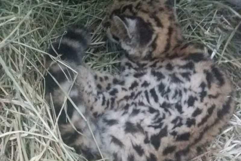 Filhote de gato-do-mato maracajá é resgatado pelo Corpo de Bombeiro Militar de Xanxerê, SC