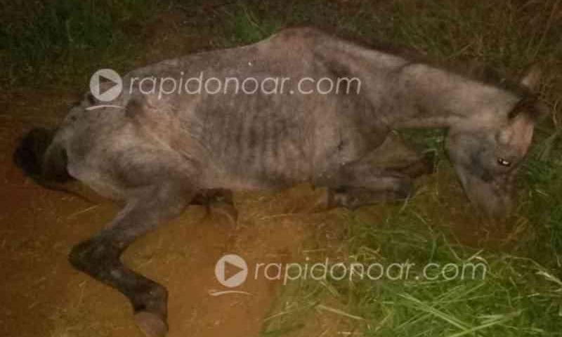 Perto da morte, cavalo é resgatado pela PM em Pirassununga, SP