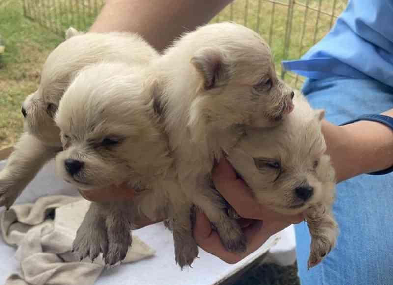 Cães da raça spitz alemão são resgatados de canil clandestino em condomínio de São José do Rio Preto, SP