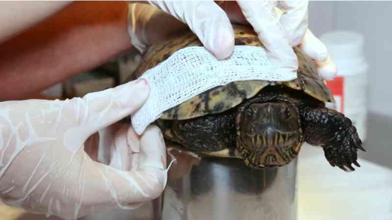 Tartaruga recebe 'reparo' no casco após ser encontrada em Taubaté, SP