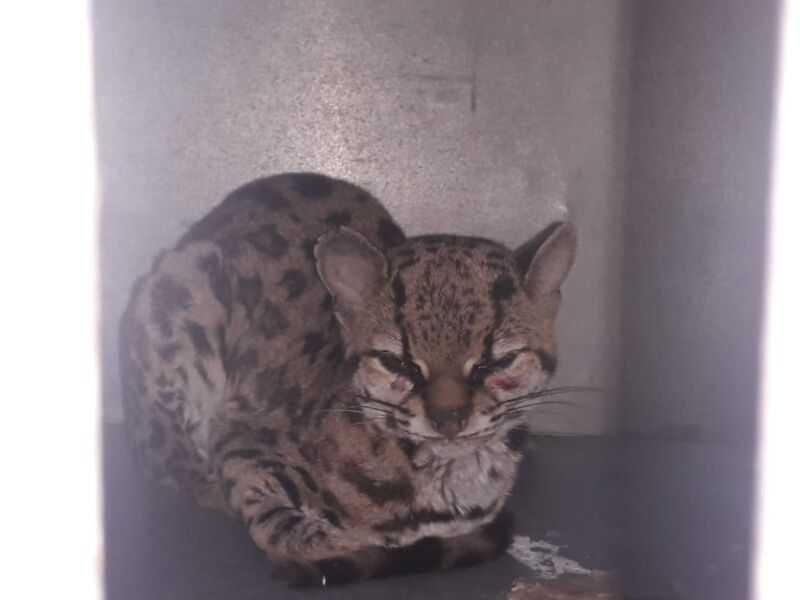 Gato-do-mato é resgatado após ser atropelado na rodovia Mogi-Bertioga, em SP